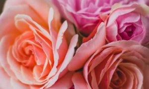 Amazing medical benefits of roses