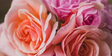 Amazing medical benefits of roses