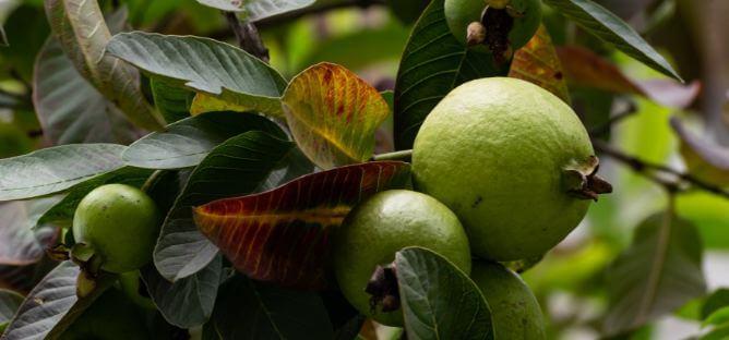 Guava Is A Super food